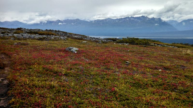 red berries in the tundra