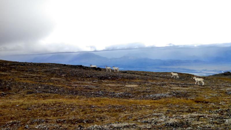 sheep in front of low clouds