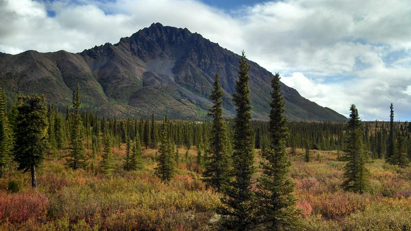 black spruce and mountain